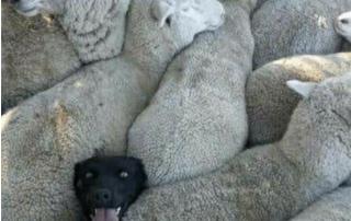 dog sheep